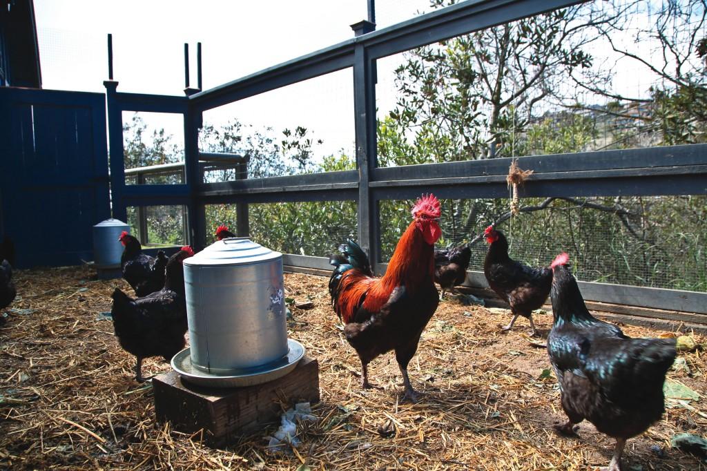 Heirloom black copper marans, a rare breed of fowl