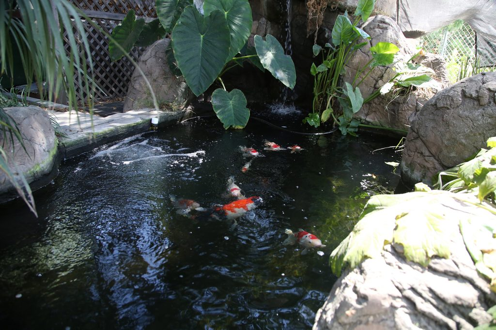 Laguna beach local news water wonders laguna beach local for Laguna koi ponds